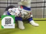 绵阳哪里有虎斑猫出售 绵阳虎斑猫价格 虎斑猫多少钱