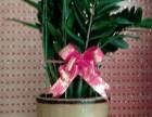 绿植租摆办公室植物租赁 绿萝发财树出售批发