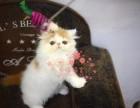 哈尔滨加菲猫多少钱 哈尔滨哪里出售的加菲猫幼犬价格较便宜