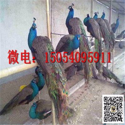 现在一只孔雀苗多少钱 孔雀多少钱