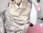 墨尔本带回纯种爸妈生下小猫 出售