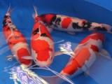 上海鱼缸专卖,观赏鱼专卖,热带鱼,龙鱼,锦鲤批发