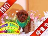 买纯种泰迪熊幼犬/三年联保签协议/赠狗狗户口