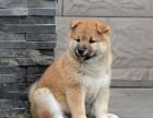 重庆出售纯种健康的柴犬,急找新主人了狗狗非常健康