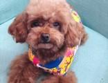 上海市永康路附近走失爱犬泰迪一只