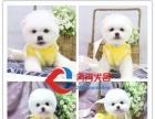 CKU注册犬舍出售纯种博美幼犬质保三年 签署协议