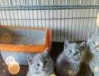 纯家养极品暹罗 蓝猫 只要1500