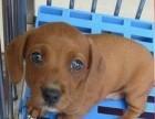腊肠犬纯种家养繁殖腊肠狗出售精品家养活体宠物狗