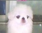 纯种的小京巴幼犬只要带回家去吧,自己新生可爱的狗狗