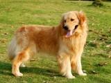 出售纯种金毛 金毛幼犬 品质好 质量保证
