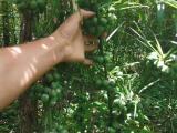 怒江滇黄精种植 为您量身打造