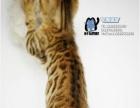 【真实】TICA赛级玫瑰纹孟加拉豹猫公母共2只