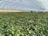 供应脱毒西瓜红红薯苗-高产高淀粉红薯苗销售