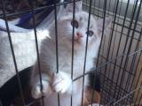 专业猫舍 加菲猫 蓝猫 布偶 英短 美短等