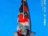 成都錦鯉品種多