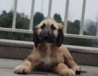 阿富汗猎犬多少钱 哪里有卖阿富汗的