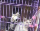 出售家养加菲猫猫2只