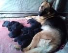 出售德国牧羊犬幼崽