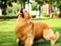 广州哪里有金毛出售 金毛哪里的纯种健康 金毛寻回犬工作前价格