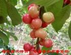 供应栽上就能结果的大樱桃树--湖田采摘园