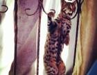 猫星人出售精品豹猫