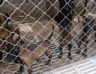 精品马犬2~4个月纯血幼犬出售