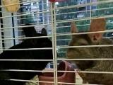 家庭繁殖宠物龙猫低价出售,可实体店选购