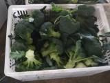 2018年坝上蔬菜种植基地大量供应耐寒西蓝花