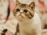 潮州哪里有加菲猫卖 自家繁殖 品相极佳 多只可挑