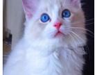 CFA TICA双注册猫舍 蓝双布偶妹妹