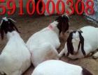 优质波尔山羊纯种波尔山羊羊羔多少钱一只