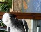 急售灰鹦鹉 喜欢鹦鹉的可以来看看