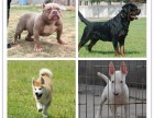 国内较大繁殖基地 出售双血统边牧 七白到位保养活