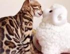 自家繁育银色渐层孟加拉豹猫