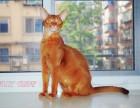 CFA注册猫舍 繁育户 招全国代理宠物店合作伙伴