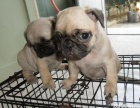 重庆出售纯种巴哥犬 八百一只 健康保障售后 可签协议