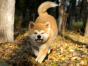 自家大狗生了一窝秋田犬可以上门看狗父母