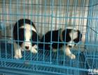 正规狗场 专业繁殖出售高智商边境牧羊犬 七白到位