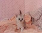 宠物猫英短猫渐层宝宝