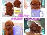 广州苹果脸玩具茶杯泰迪犬 高端品质 诚信为本 空运全国