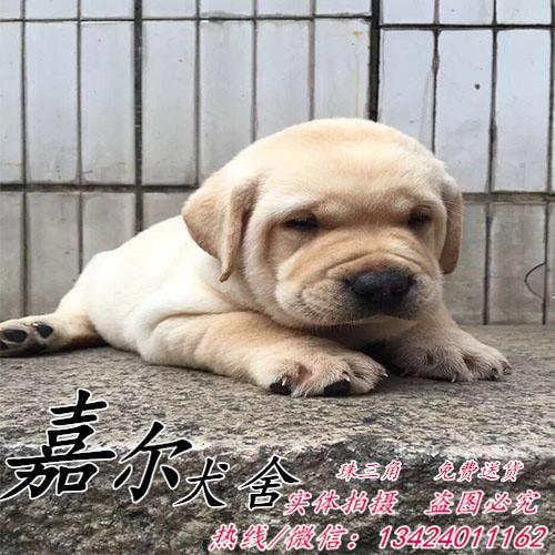 深圳哪里有拉布拉多出售 拉布拉多价钱 纯种健康导盲犬