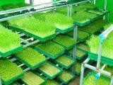 益康园富氧有机芽苗菜告诉你芽苗菜的神奇功效与价值欢迎加入