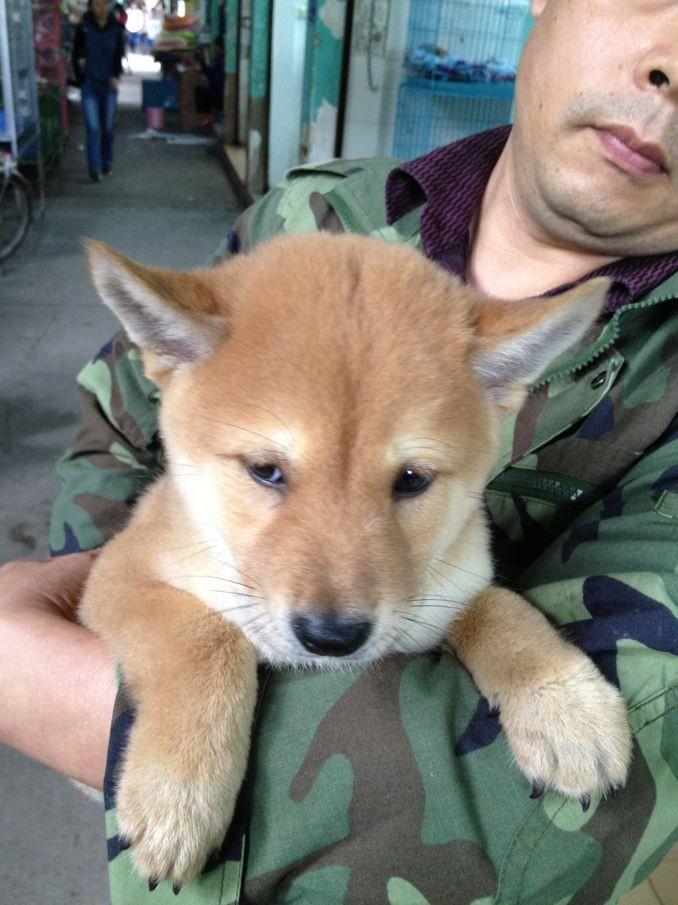 精品纯日系柴犬 国外引进种犬 签订终身纯种健康协议
