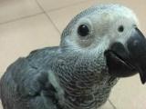 出售自家繁殖的灰鹦鹉 善学说话