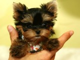 专业繁殖 约克夏幼犬 可来基地挑选 签协议保健