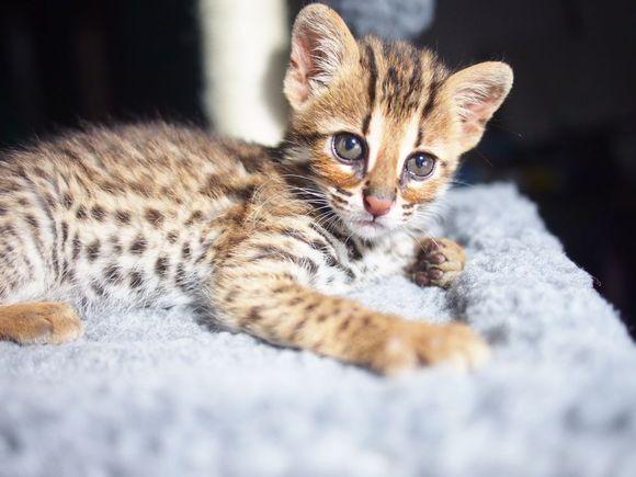 福州哪里有孟加拉豹猫卖 野性外表温柔家猫性格 时尚 漂亮