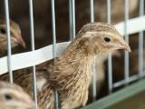孝感本养殖场长期批发出售各肉食鹌鹑 青年鹌鹑等
