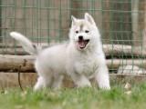 专业繁殖纯种哈士奇雪橇犬 签订协议出售保健康