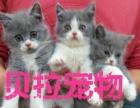 【贝拉宠物】最低蓝猫折耳猫加菲猫金吉拉猫,欢迎比价
