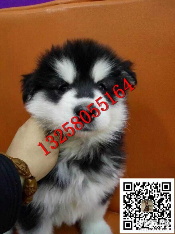 阿拉斯加犬怎么样鉴定好坏,阿拉斯加犬价格图片